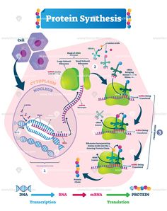 Labeled transcription and translation steps diagram with full cycle explanation. How body creates protein chain from cytoplasm. Study Biology, Biology Lessons, Cell Biology, Molecular Biology, Teaching Biology, Science Biology, Life Science, Translation Biology, Dna Transcription And Translation