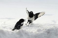 Magpie-Pica pica (74650). bird, fly, magpie, magpie flight, wing, winter