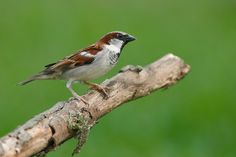 One of the most widespread and abundant songbirds in the world today, the House Sparrow has a simple success formula: it associates with humans. Native to Eurasia and northern Africa, it has succeeded in urban and farming areas all over the world -- including North America, where it was first released at New York in 1851. Tough, adaptable, aggressive, it survives on city sidewalks where few birds can make a living; in rural areas, it may evict native birds from their nests.