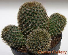 rebutia perplexa Cactus Gallery
