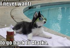 My Husky thinks this every day!