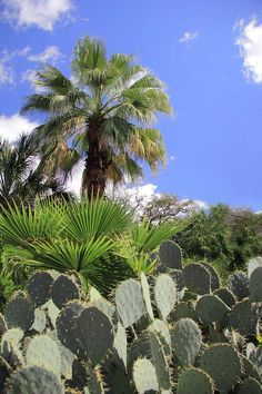 Palm trees and cactus #southwestern #blueandgreen #nature #palmtrees #cactus #photography