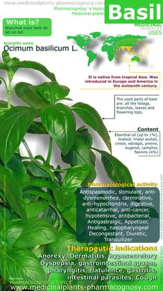 benefits of herbs--Basil health benefits Health And Nutrition, Health Tips, Health And Wellness, Health Care, Healing Herbs, Medicinal Plants, Herb Plants, Natural Medicine, Herbal Medicine