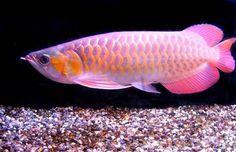 Red Fish Blue Fish, One Fish Two Fish, Dolphin Images, Vida Animal, Fisher, Betta Fish Types, Dragon Fish, Fish Breeding, Tropical Fish Tanks
