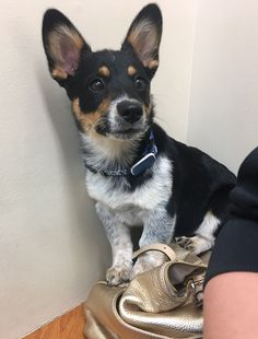 Ruger the Cowboy Corgi. (Mini Blue Heeler, Corgi Mix) ❤️