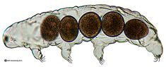 Lateral (side) view of the exoskeleton of an aquatic tardigrade (Hypsibius sp.) containing 5 eggs.