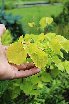 Tilia cordata 'Akira Gold'. Known as 'Shibamichi Gold' or, after the Japanese breeder, 'Akira Gold', this is a linden tree with colorful foliage Spring through Summer.  Hooray!