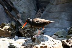 Black Oystercatcher - with a beak like this even I could catch and open oysters - yum!