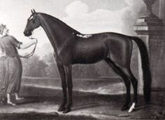 CURWIN BARB 1686 IMPORTED GB, bay stallion, in Birdcatcher Pedigree..note white spots on his back.
