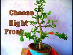How to Choose Front of  Hibiscus Bonsai  | for Beginners  | Pruning  | B...