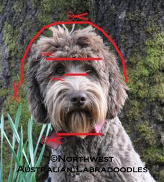 Labradoodle clipped head
