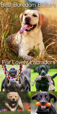Boredom Busting dog toys for Labradors