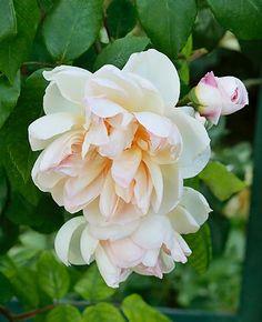 'Jaune Desprez', grimpant. Une grande variabilité dans la couleur, changeant en fonction du temps, de l'ensoleillement, de la saison et du lieu. Il transmettra ce caractère à son illustre descendant : 'Gloire de Dijon'. Il produit tout l'été des fleurs doubles jaune abricot mêlé de rose, au parfum puissant. Plantation en situation ensoleillée. Résistant aux maladies. Déconseillé en régions à hiver très rigoureux.  Noisette. Desprez, 1835.