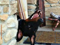 How can they be so darn cute?  <3 #Doberman #dogs #pets