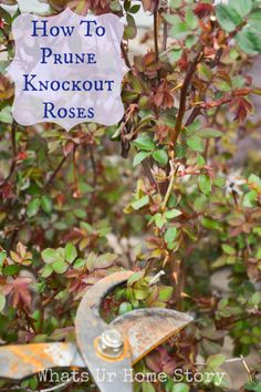 How to prune knockout roses www.whatsurhomestory.com