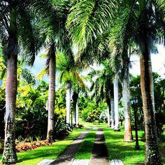 I giardini botanici dell'isola di Nevis possiedono una delle più grandi collezioni di palme della regione #Caraibi