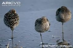 Image result for sandpipers
