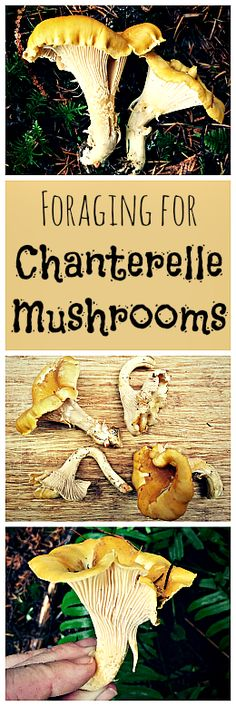 Chanterelle Mushrooms are easy to identify and fun to forage for... not to mention super tasty!