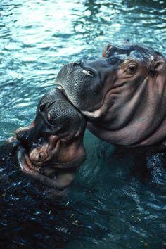 Hippopotamuses , in play