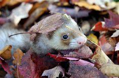 Horatio's leaf hat: 52 weeks of ferrets (39/52), via librariansarah's Flickr.