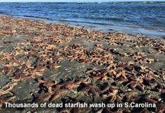 Dead Starfish in S.Carolina