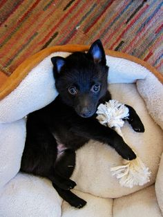 There is only one path but each must walk it his own way. Cute Cats And Dogs, All Dogs, Schipperke Puppies, Funny Animals, Cute Animals, Puppy Party, Animal Pictures, Dog Breeds, Your Dog