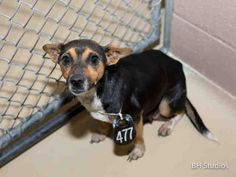 03/18/15-HOUSTON - SUPER URGENT - TIME IS UP - This DOG - ID#A427824 I am a female, tricolor Chihuahua - Smooth Coated mix. The shelter staff think I am about 3 years old. I have been at the shelter since Mar 16, 2015.