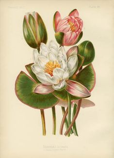 Sweet-Scented Water-Lily