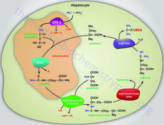 Reactions of the urea cycle