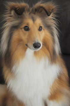 Sheltie❤️ we used to have three (not at once) and my aunt has a bunch. Sweet dogs but bark a lot ~SheWolf★