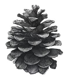 "Pine Cone by artist William Beauchamp. We purchased this from Fine Art America as a wedding gift for a dear friend. Turned out beautiful with the pine cone at about 21"" tall...incredible detail!"