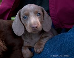 Isabella dachshund - beautiful!  Cocoa's Mom   is this kind of Doxie and her name is Velvet Dawn...