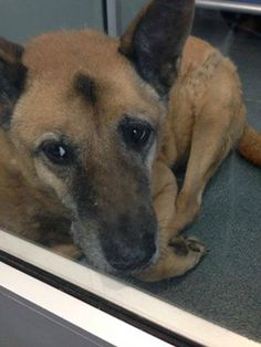 SAFE I'm looking for my loving home and my family :)Cuddle me more senior German shepherd waits for new family to love at shelter