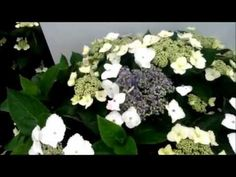 Hydrangea Tokyo Delight is a terrific lacecap hydrangea that is covered with circular shaped, white and pink or blue flowers that last well and make an elegant display. Compact and bushy this reliable and easy to grow variety is highly recomended. Video by David Wilson, Overdevest Nurseries