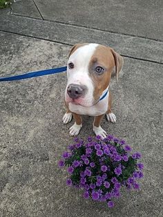 AMSTERDOG - Pictures of Biscotti a Pit Bull Terrier for adoption in New York, NY who needs a loving home.