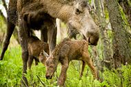 Cow moose with newborn calves off the Tony Knowles Coastal Trail, Anchorage, southcentral Alaska, spring. Moose calves weigh about 30 lbs. at birth and can walk within hours.