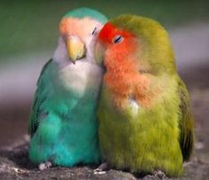 ♡ Lovebirds ♡ I had one like he one on the left, named him Fred. Sadly he died a few years ago, but he lived an action packed life. (Fred died with a blind eye and a broken leg, he was a daredevil and thought if he jumped he would learn to fly, we clipped his wings tho ._.)