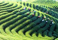 Lugu Tea Farm