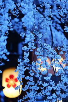Cherry Blossom viewing at night. Hirano shrine, Kyoto, Japan