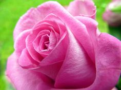 Free image of Beautiful vibrant pink rose Free Stock Photos, Free Images, British, Anniversary, Vibrant, Valentines, Texture, Rose, Flowers