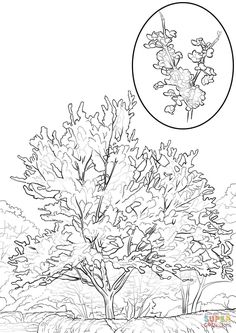 Click The Oklahoma State Tree Coloring Pages To View Printable Version Or Color It Online Compatible With IPad And Android Tablets