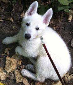 White German Shepherd at 8 weeks old. - Imgur