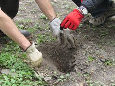 Planting Seedlings at the Rye Nature Center -May 2015