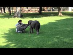A rescued baby elephant named Moyo adorably greets the new day at the Zimbabwe Elephant Nursery outside Harare, Zimbabwe, with a loving hug for his human Roxy Danckwerts and their baby warthog frie...