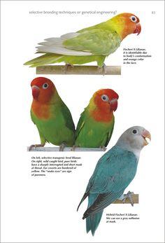 Budgies, Parrots, African Lovebirds, Love Birds, Bird Feathers, Pets, Cute Birds, Book, Animals