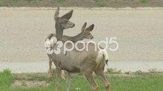 Wild White Tail Adult Deer & Baby Fawn In Front Yard Garden Street Hand Held - Stock Footage | by RyanJonesFilms #wild #deer #fawn #baby #adult #family #animal #nature #whitetail #whitetaildeer #canada #GH4 #panasonic #Lumix