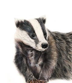 Badger Illustration