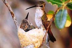 Aves nido