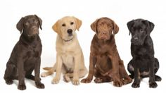 Mind Blowing Facts About Labrador Retrievers And Ideas. Amazing Facts About Labrador Retrievers And Ideas. Top 10 Dog Breeds, Best Dog Breeds, Best Dogs, Labrador Retrievers, Golden Retrievers, Retriever Puppies, Raza Labrador, Family Friendly Dogs, Family Dogs