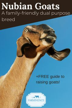 Are you considering raising goats? Not sure which goat breed is best for you? Consider the Nubian goat! Although Nubians are often dubbed as a dairy goat breed, they can be raised for more than just milk. Feeding Goats, Raising Goats, Types Of Goats, Miniature Goats, Nubian Goat, Goat Care, Beef Cattle, Goat Farming, Small Breed